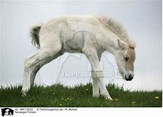 ausmalbilder pferde norweger rr 13023 norweger fohlen bilder stockbilder kaufen