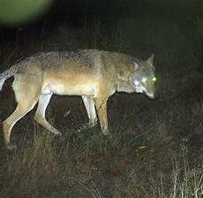 wolf münchen wildtiere ist der wolf in der n 228 he m 252 nchen welt