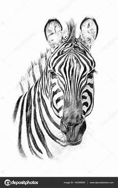 portrait of zebra by in pencil stock photo