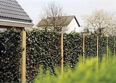 die hecke natuerlicher zaun und sichtschutz efeu am laufenden meter haus design ideen