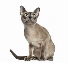 cat breed the top 10 smartest cat breeds cattime