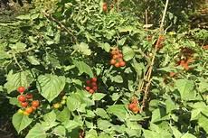 tomaten im hochbeet tomaten paprika und mehr die idealen pflanzen f 252 rs hochbeet