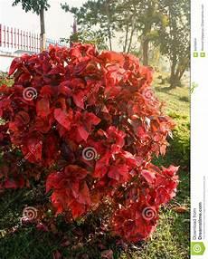 strauch rote blätter rote bl 228 tter stockfoto bild orange fall assort