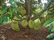 Sekilas Tentang Pohon Durian