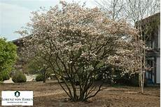 Amelanchier Lamarckii Beautiful Multi Stemmed Exle