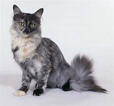 Kucing Anggora Abu Abu Hewan Id