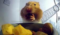 hamster vidéos x x of how hamsters fit food in their cheek pouches the kid should see this