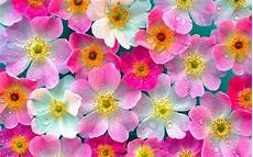 Wallpaper Of Pink Flower wallpapers pink flowers wallpapers