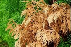 Thuja Brabant Wird Braun 187 Ursachen Und Ma 223 Nahmen Lebensbaum