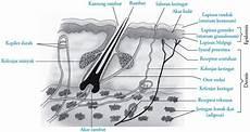 Anatomi Struktur Kulit Pada Manusia Info