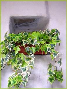 edera in vaso edera in vaso foto immagini piante fiori e funghi