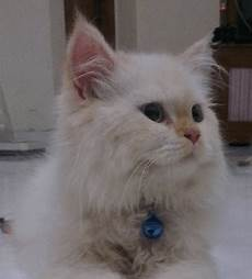 Kucing Medium Ciri Ciri Harga Cara Merawat Dan