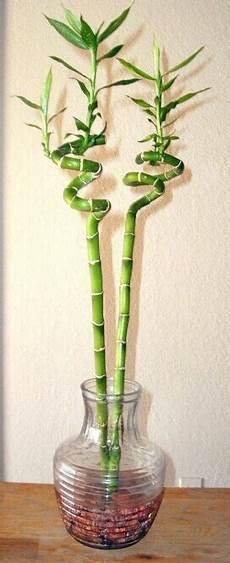 lucky bamboo dracaena sanderiana guide our house plants
