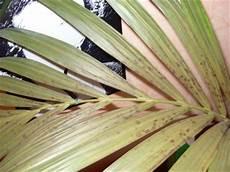 kentia palme braune blätter braune flecken bei kentia palme gelbe bl 228 tter