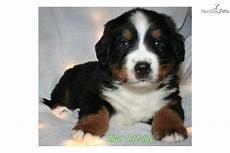 bernese mountain puppy for sale near sheboygan