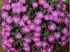 pianta grassa fiori viola pianta piante grasse grassa barba di giove pendente in