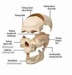 Aponema S Anatomi Dasar Kepala Cranium