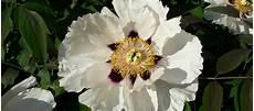 pivoine arbustive en pot planter une pivoine arbustive promesse de fleurs