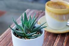 aloe vera 10 tipps zum anbau der exotischen heilpflanze