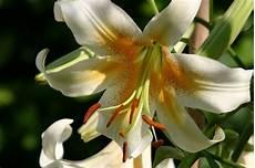 gigli fiore significato giglio linguaggio dei fiori