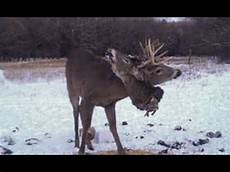 gory photo of stag with a buck s head on its antlers youtube