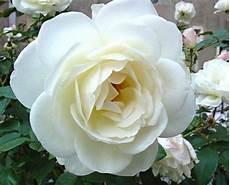 Quelle Est La Signification Des Roses Blanches 3 233