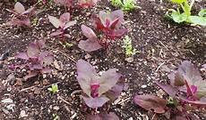 pflanze rote blüte gartenstadt rote melde a3regional essen trinken