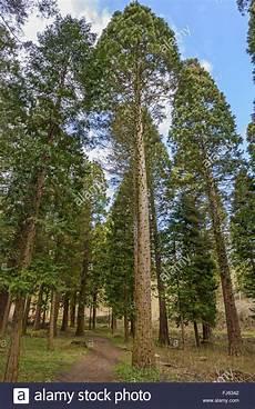 Mammutbaum Redwood Sequoiadendron Giganteum Wald