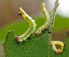 garden pests larvae identification uk garden ftempo