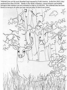 printable colors coloring pictures 12733 whitetail2 jpg 206400 bytes deer coloring pages animal coloring books farm animal coloring
