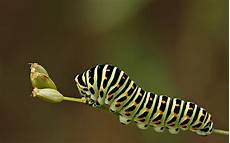 Insect Caterpillar Wallpaper by Cataperllar Hd Wallpaper And Background Image