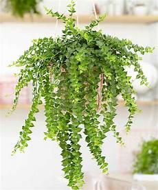 10 plantes retombantes d int 233 rieur indispensables 224 la