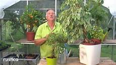 Entretenir Les Ficus Benjamina