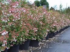 Haie De 15 Arbustes Fleuris Vari 233 S Caducs Et Persistants