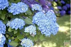 l entretien et la couleur bleue des hortensias hortensia