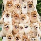 17 Best Images About Pomeranian Appreciation On Pinterest