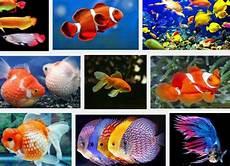 Gambar Jenis Jenis Ikan Hias Ar Production