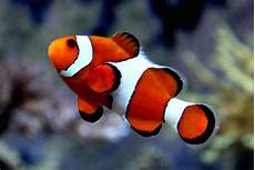 Ikan Nemo Mengenal Jenis Perawatan Dan Harganya Terbaru