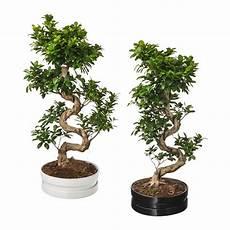 bonsai ficus benjamini ficus microcarpa ginseng potted plant with pot ikea