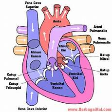 Cara Kerja Jantung Manusia Sdn Dolopo 1
