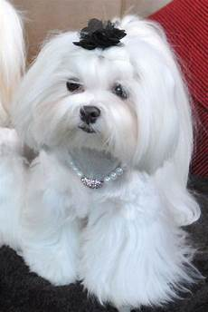 24 best maltese grooming hairstyles images pinterest doggies hair cut and maltese dogs