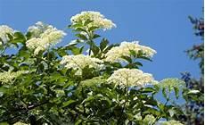 schwarzer holunder holunder pflanzen und holunder vermehren