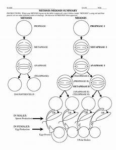 meiosis worksheets 15 best images of phases of meiosis worksheet meiosis
