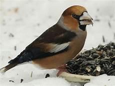 einheimische vögel im winter gefundenes fressen v 246 gel f 252 ttern im winter
