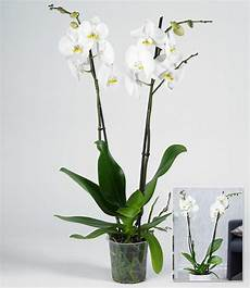 phalaenopsis orchidee 2 triebe quot wei 223 quot 1 pflanze g 252 nstig