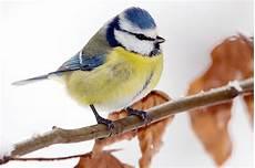 einheimische vögel im winter die blaumeise im winterv 246 gel portr 228 t nabu