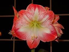 amaryllis pflege nach blüte amaryllis pflege bl 252 hende rittersterne garten mix