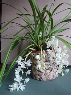 cymbidium orchideen pflege bl 252 hendes seite 52 garten und fuchsienfreunde