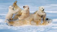 polar backgrounds white polar with cubs small cinch staining the snow