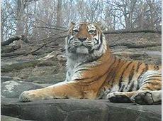 bronx zoo tiger attack